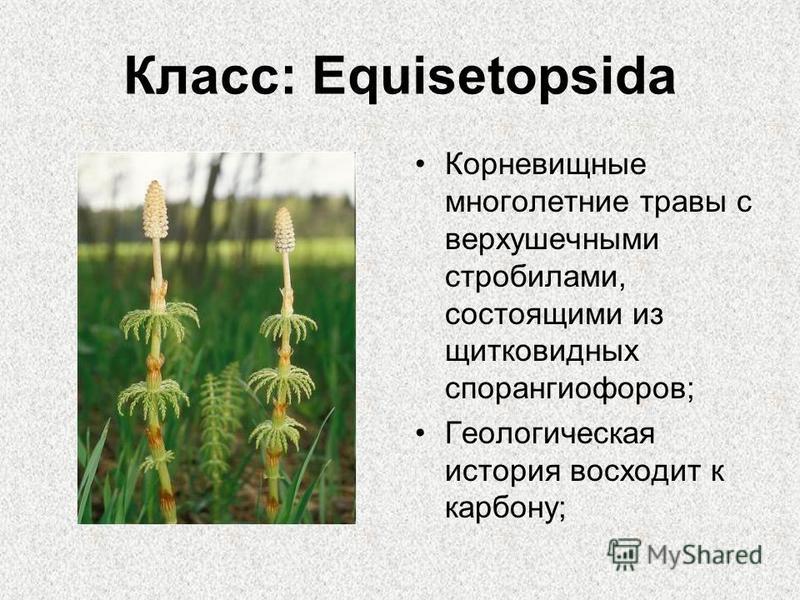 Класс: Equisetopsida Корневищные многолетние травы с верхушечными стробилами, состоящими из щитковидных спорангиофоров; Геологическая история восходит к карбону;