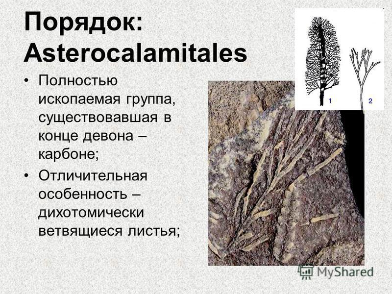 Порядок: Asterocalamitales Полностью ископаемая группа, существовавшая в конце девона – карбоне; Отличительная особенность – дихотомически ветвящиеся листья;