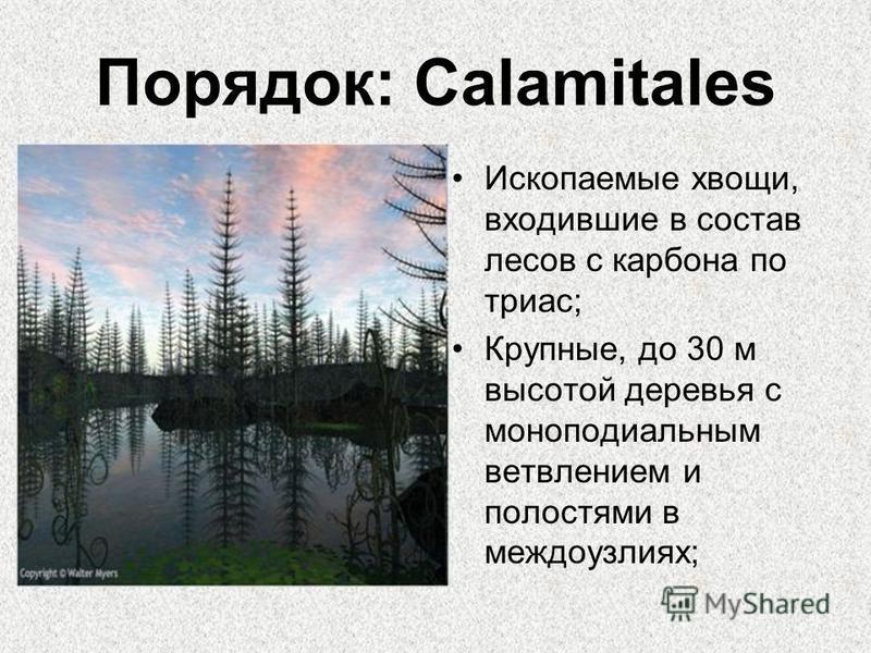 Порядок: Calamitales Ископаемые хвощи, входившие в состав лесов с карбона по триас; Крупные, до 30 м высотой деревья с моноподиальным ветвлением и полостями в междоузлиях;
