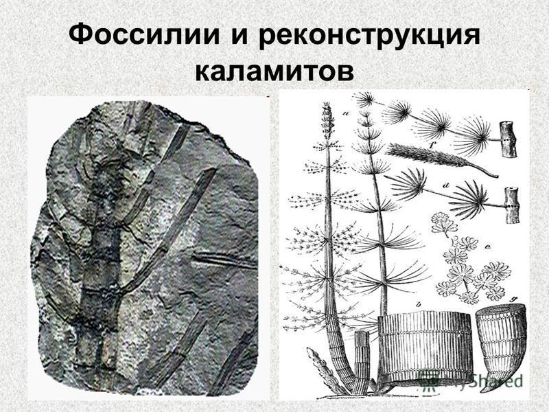 Фоссилии и реконструкция каламитов
