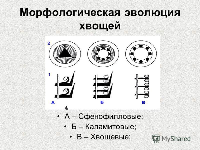 Морфологическая эволюция хвощей А – Сфенофилловые; Б – Каламитовые; В – Хвощевые;