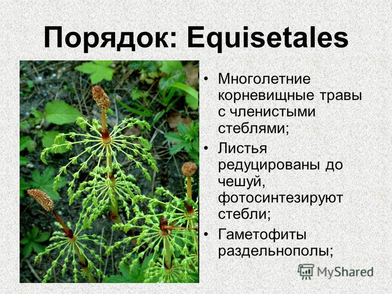 Порядок: Equisetales Многолетние корневищные травы с членистыми стеблями; Листья редуцированы до чешуй, фотосинтезируют стебли; Гаметофиты раздельнополы;