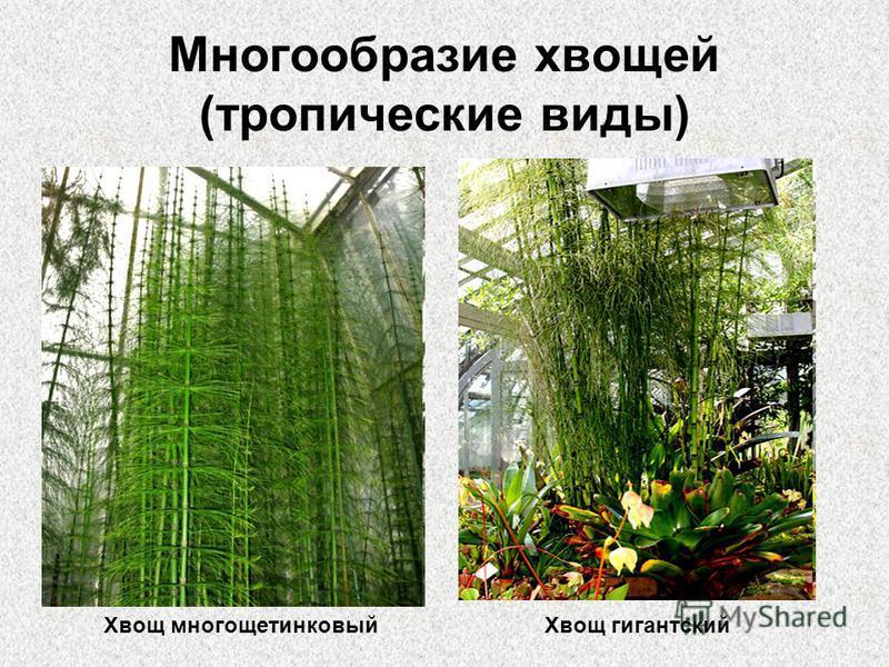 Многообразие хвощей (тропические виды) Хвощ многощетинковый Хвощ гигантский