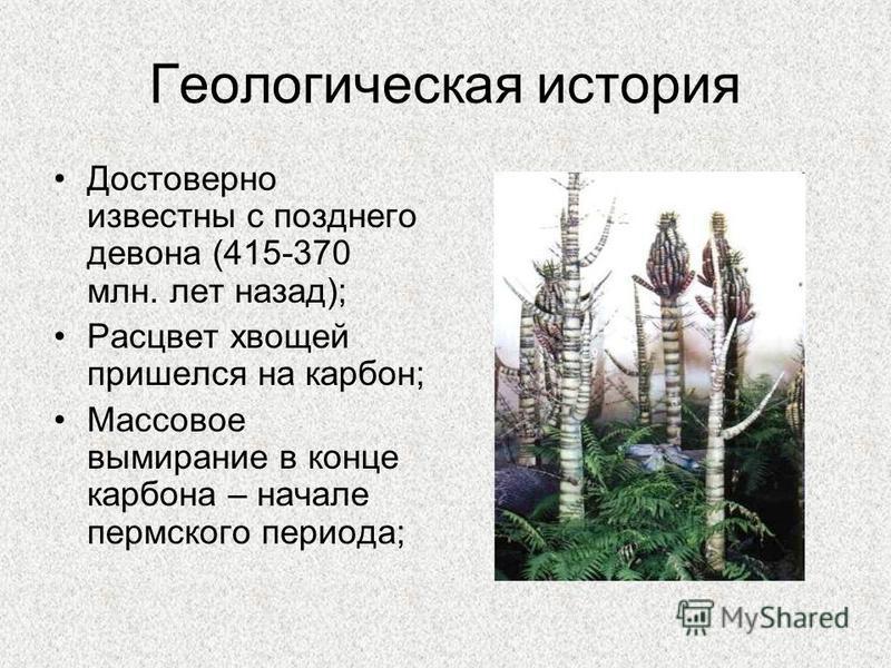 Геологическая история Достоверно известны с позднего девона (415-370 млн. лет назад); Расцвет хвощей пришелся на карбон; Массовое вымирание в конце карбона – начале пермского периода;