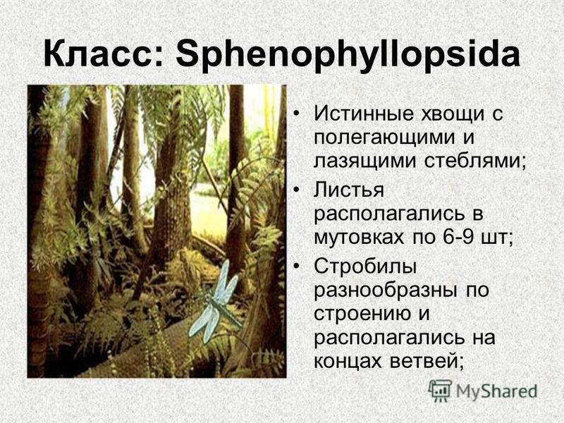 Класс: Sphenophyllopsida Истинные хвощи с полегающими и лазящими стеблями; Листья располагались в мутовках по 6-9 шт; Стробилы разнообразны по строению и располагались на концах ветвей;