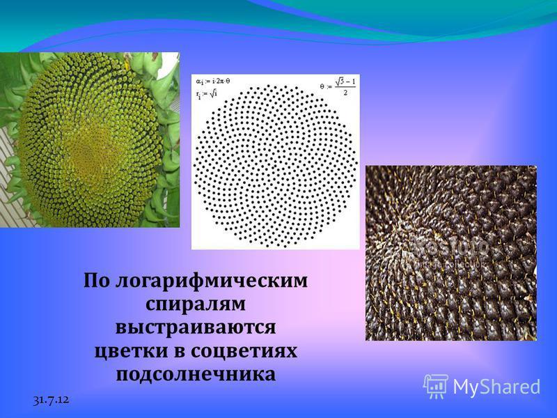 31.7.12 По логарифмическим спиралям выстраиваются цветки в соцветиях подсолнечника