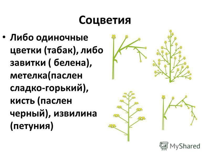 Соцветия Либо одиночные цветки (табак), либо завитки ( белена), метелка(паслен сладко-горький), кисть (паслен черный), извилина (петуния)