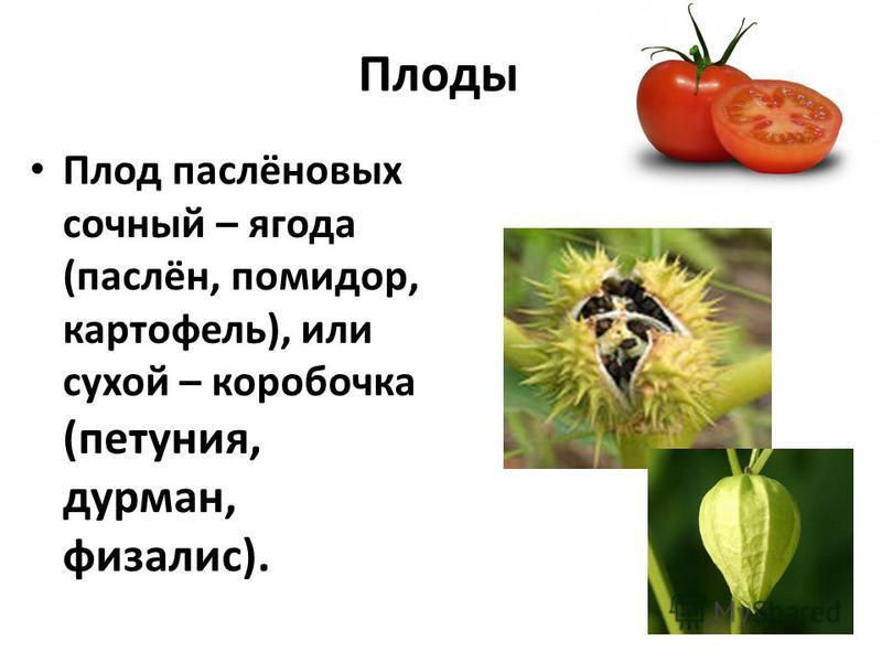 Плоды Плод паслёновых сочный – ягода (паслён, помидор, картофель), или сухой – коробочка (петуния, дурман, физалис).