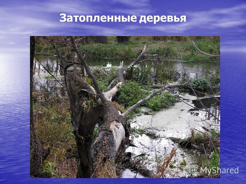 Затопленные деревья