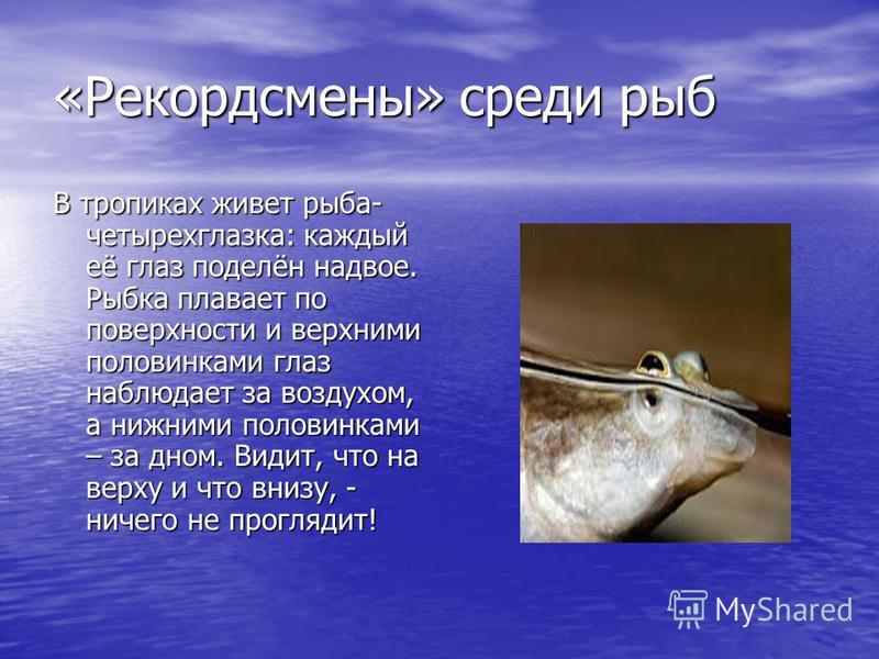 «Рекордсмены» среди рыб В тропиках живет рыба- четырехглазка: каждый её глаз поделён надвое. Рыбка плавает по поверхности и верхними половинками глаз наблюдает за воздухом, а нижними половинками – за дном. Видит, что на верху и что внизу, - ничего не