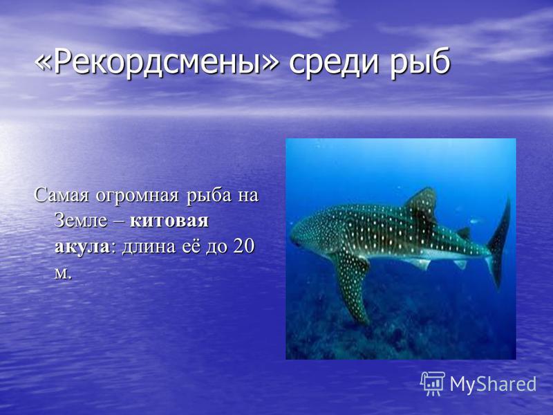 «Рекордсмены» среди рыб Самая огромная рыба на Земле – китовая акула: длина её до 20 м.
