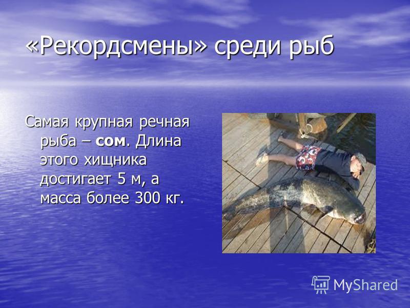 «Рекордсмены» среди рыб Самая крупная речная рыба – сом. Длина этого хищника достигает 5 м, а масса более 300 кг.