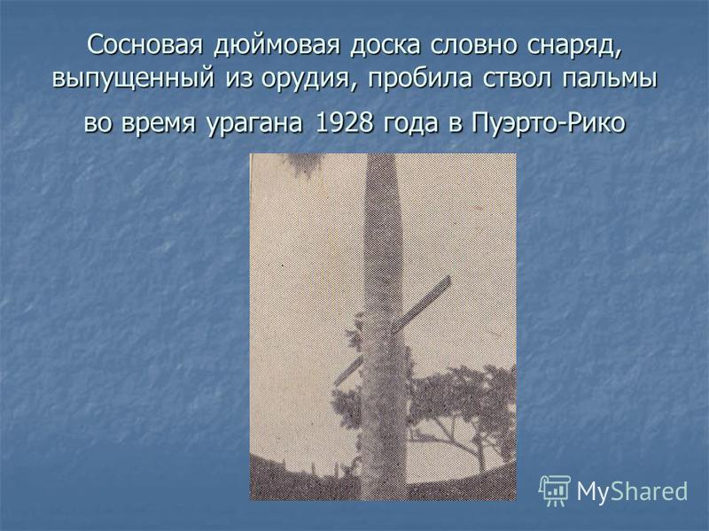 Сосновая дюймовая доска словно снаряд, выпущенный из орудия, пробила ствол пальмы во время урагана 1928 года в Пуэрто-Рико