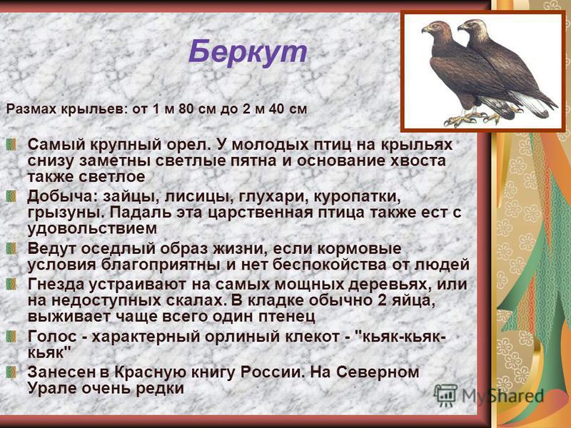 Беркут Размах крыльев: от 1 м 80 см до 2 м 40 см Самый крупный орел. У молодых птиц на крыльях снизу заметны светлые пятна и основание хвоста также светлое Добыча: зайцы, лисицы, глухари, куропатки, грызуны. Падаль эта царственная птица также ест с у