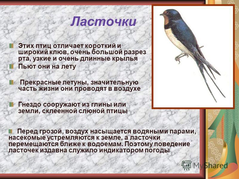 Ласточки Этих птиц отличает короткий и широкий клюв, очень большой разрез рта, узкие и очень длинные крылья Пьют они на лету Прекрасные летуны, значительную часть жизни они проводят в воздухе Гнездо сооружают из глины или земли, склеенной слюной птиц