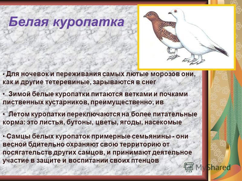 Белая куропатка Для ночевок и переживания самых лютые морозов они, как и другие тетеревиные, зарываются в снег Зимой белые куропатки питаются ветками и почками лиственных кустарников, преимущественно, ив Летом куропатки переключаются на более питател