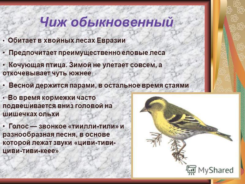 Чиж обыкновенный Обитает в хвойных лесах Евразии Предпочитает преимущественно еловые леса Кочующая птица. Зимой не улетает совсем, а откочевывает чуть южнее Весной держится парами, в остальное время стаями Во время кормежки часто подвешивается вниз г