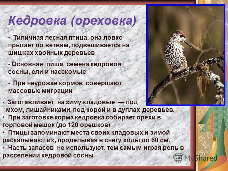 Кедровка (ореховка) Типичная лесная птица, она ловко прыгает по ветвям, подвешивается на шишках хвойных деревьев Основная пища семена кедровой сосны, ели и насекомые При неурожае кормов совершают массовые миграции Заготавливает на зиму кладовые под м