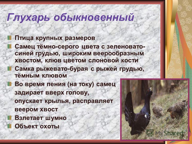 Глухарь обыкновенный Птица крупных размеров Самец тёмно-серого цвета с зеленовато- синей грудью, широким веерообразным хвостом, клюв цветом слоновой кости Самка рыжевато-бурая с рыжей грудью, тёмным клювом Во время пения (на току) самец задирает ввер