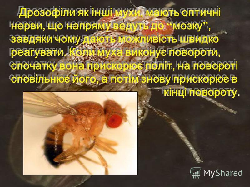 Дрозофіли як інші мухи, мають оптичні нерви, що напряму ведуть до мозку, завдяки чому дають можливість швидко реагувати. Коли муха виконує повороти, спочатку вона прискорює політ, на повороті сповільнює його, а потім знову прискорює в кінці повороту.