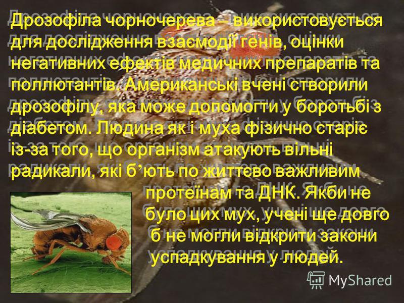 Дрозофіла чорночерева – використовується для дослідження взаємодії генів, оцінки негативних ефектів медичних препаратів та поллютантів. Американські вчені створили дрозофілу, яка може допомогти у боротьбі з діабетом. Людина як і муха фізично старіє і