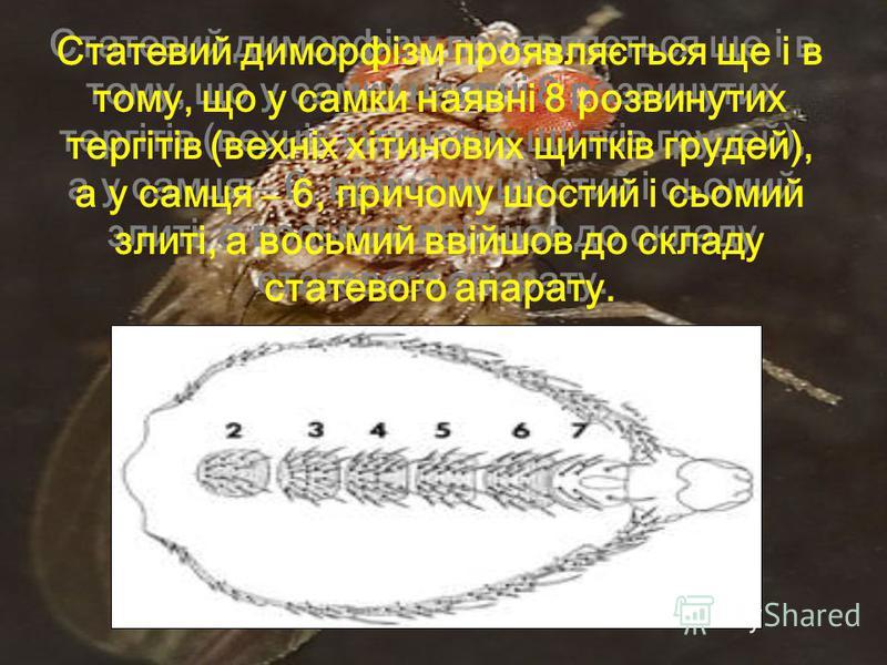 Статевий диморфізм проявляється ще і в тому, що у самки наявні 8 розвинутих тергітів (вехніх хітинових щитків грудей), а у самця – 6, причому шостий і сьомий злиті, а восьмий ввійшов до складу статевого апарату.