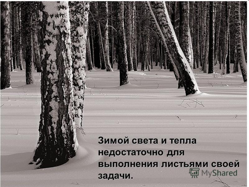 Зимой света и тепла недостаточно для выполнения листьями своей задачи.