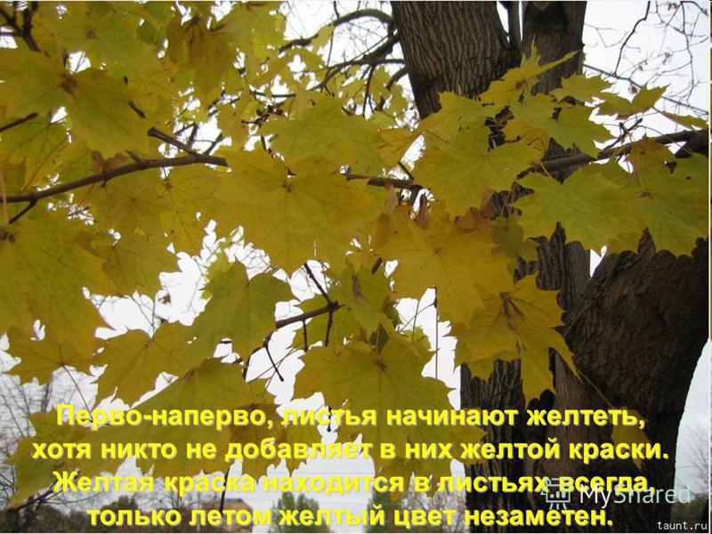 Перво-наперво, листья начинают желтеть, хотя никто не добавляет в них желтой краски. Желтая краска находится в листьях всегда, Желтая краска находится в листьях всегда, только летом желтый цвет незаметен.