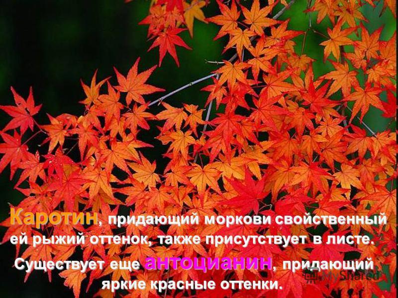 Каротин, придающий моркови свойственный Каротин, придающий моркови свойственный ей рыжий оттенок, также присутствует в листе. Существует еще антоцианин, придающий Существует еще антоцианин, придающий яркие красные оттенки.