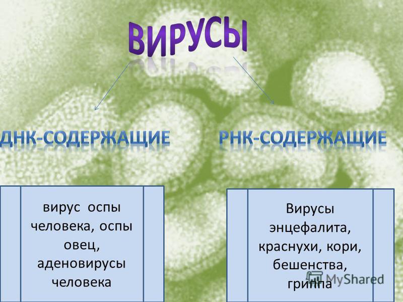 вирус оспы человека, оспы овец, аденовирусы человека Вирусы энцефалита, краснухи, кори, бешенства, гриппа
