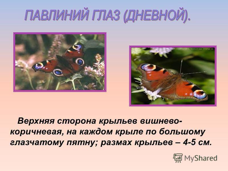 Верхняя сторона крыльев вишнево- коричневая, на каждом крыле по большому глазчатому пятну; размах крыльев – 4-5 см.