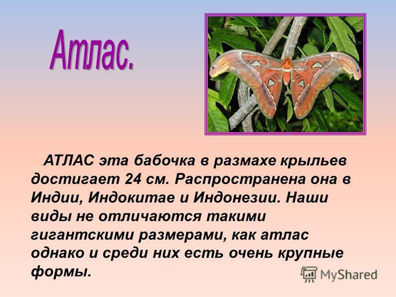 АТЛАС эта бабочка в размахе крыльев достигает 24 см. Распространена она в Индии, Индокитае и Индонезии. Наши виды не отличаются такими гигантскими размерами, как атлас однако и среди них есть очень крупные формы.