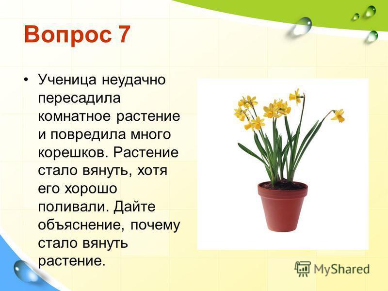 Вопрос 7 Ученица неудачно пересадила комнатное растение и повредила много корешков. Растение стало вянуть, хотя его хорошо поливали. Дайте объяснение, почему стало вянуть растение.