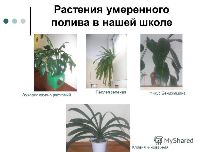Растения умеренного полива в нашей школе Кливия киноварная Фикус Бенджамина Пеллея зеленая Эухарис крупноцветковый