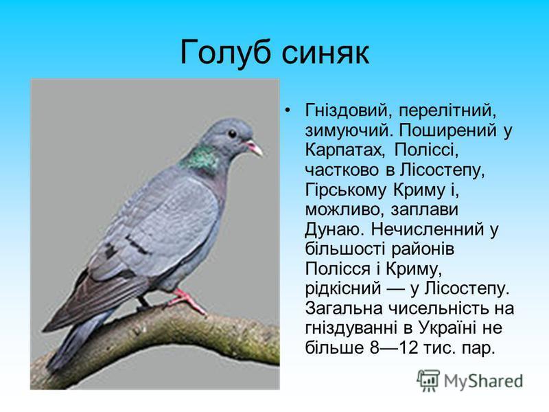 Голуб синяк Гніздовий, перелітний, зимуючий. Поширений у Карпатах, Поліссі, частково в Лісостепу, Гірському Криму і, можливо, заплави Дунаю. Нечисленний у більшості районів Полісся і Криму, рідкісний у Лісостепу. Загальна чисельність на гніздуванні в