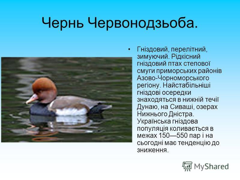 Чернь Червонодзьоба. Гніздовий, перелітний, зимуючий. Рідкісний гніздовий птах степової смуги приморських районів Азово-Чорноморського регіону. Найстабільніші гніздові осередки знаходяться в нижній течії Дунаю, на Сиваші, озерах Нижнього Дністра. Укр