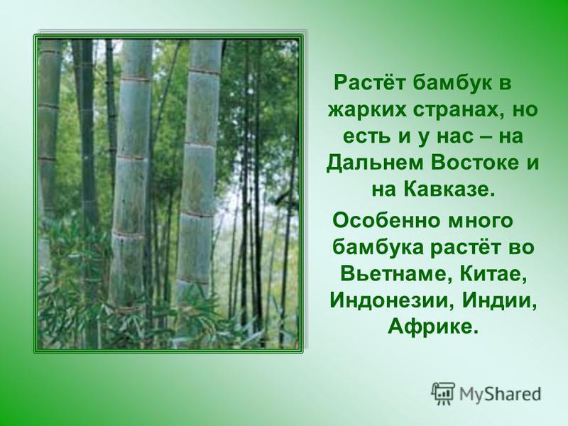 Растёт бамбук в жарких странах, но есть и у нас – на Дальнем Востоке и на Кавказе. Особенно много бамбука растёт во Вьетнаме, Китае, Индонезии, Индии, Африке.