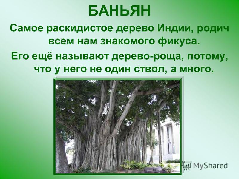 БАНЬЯН Самое раскидистое дерево Индии, родич всем нам знакомого фикуса. Его ещё называют дерево-роща, потому, что у него не один ствол, а много.