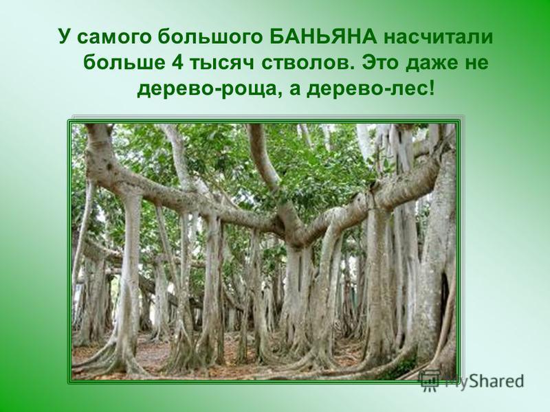 У самого большого БАНЬЯНА насчитали больше 4 тысяч стволов. Это даже не дерево-роща, а дерево-лес!