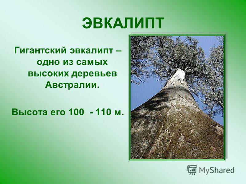 ЭВКАЛИПТ Гигантский эвкалипт – одно из самых высоких деревьев Австралии. Высота его 100 - 110 м.