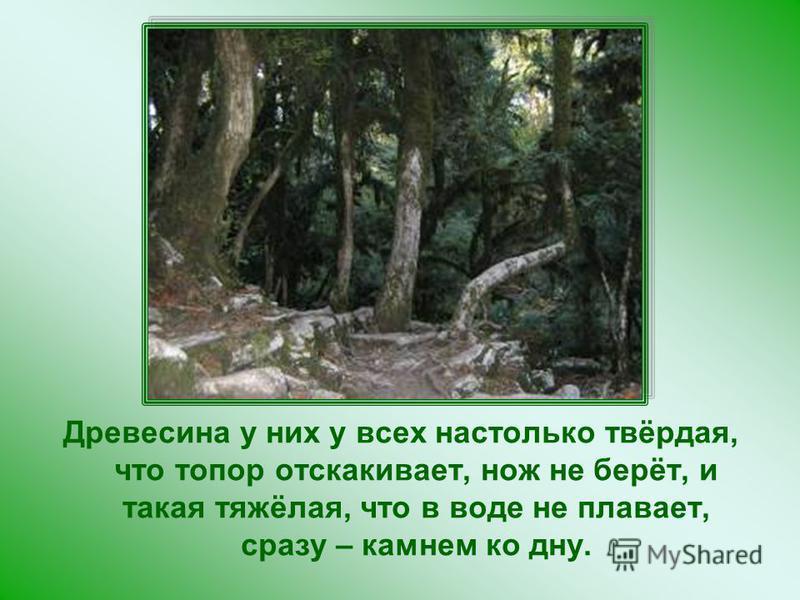 Древесина у них у всех настолько твёрдая, что топор отскакивает, нож не берёт, и такая тяжёлая, что в воде не плавает, сразу – камнем ко дну.