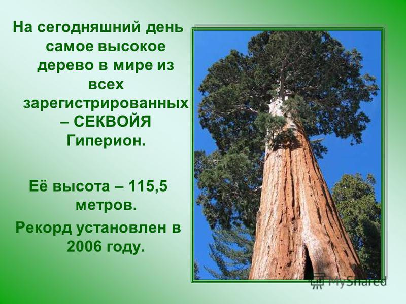 На сегодняшний день самое высокое дерево в мире из всех зарегистрированных – СЕКВОЙЯ Гиперион. Её высота – 115,5 метров. Рекорд установлен в 2006 году.