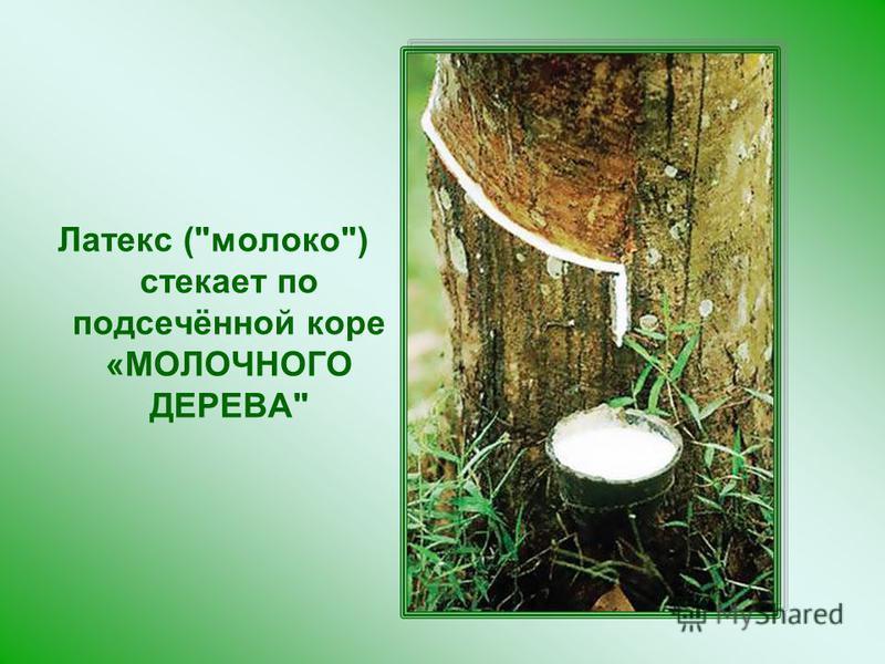 Латекс (молоко) стекает по подсечённой коре «МОЛОЧНОГО ДЕРЕВА