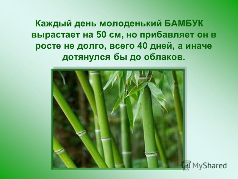 Каждый день молоденький БАМБУК вырастает на 50 см, но прибавляет он в росте не долго, всего 40 дней, а иначе дотянулся бы до облаков.