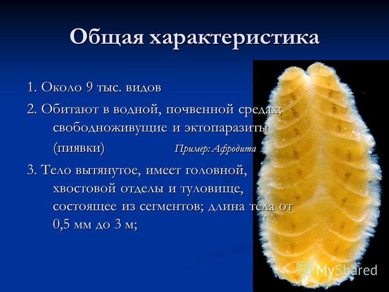 Общая характеристика 1. Около 9 тыс. видов 2. Обитают в водной, почвенной средах; свободноживущие и эктопаразиты (пиявки) Пример: Афродита 3. Тело вытянутое, имеет головной, хвостовой отделы и туловище, состоящее из сегментов; длина тела от 0,5 мм до