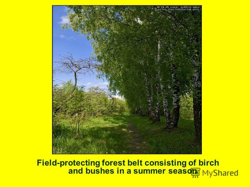 Field-protecting forest belt consisting of birch and bushes in a summer season