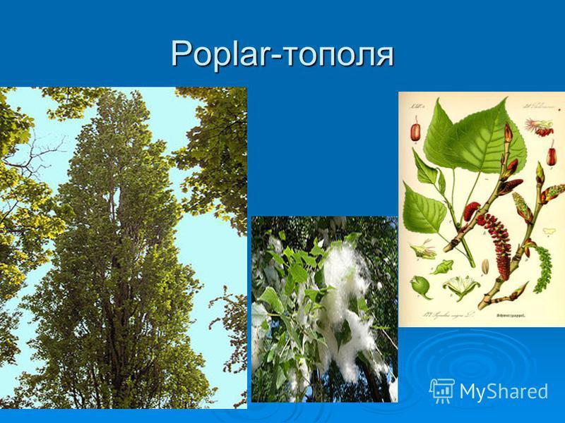 Poplar-тополя
