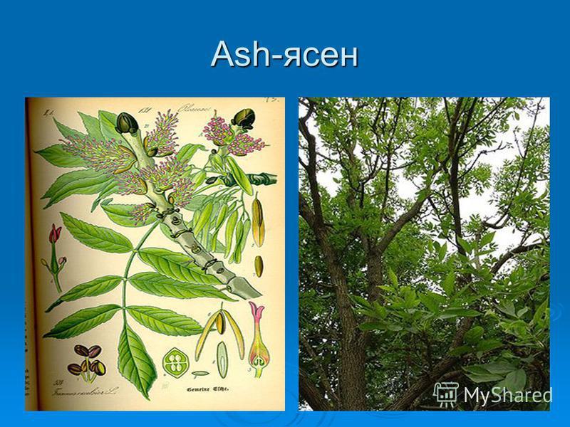 Ash-ясен