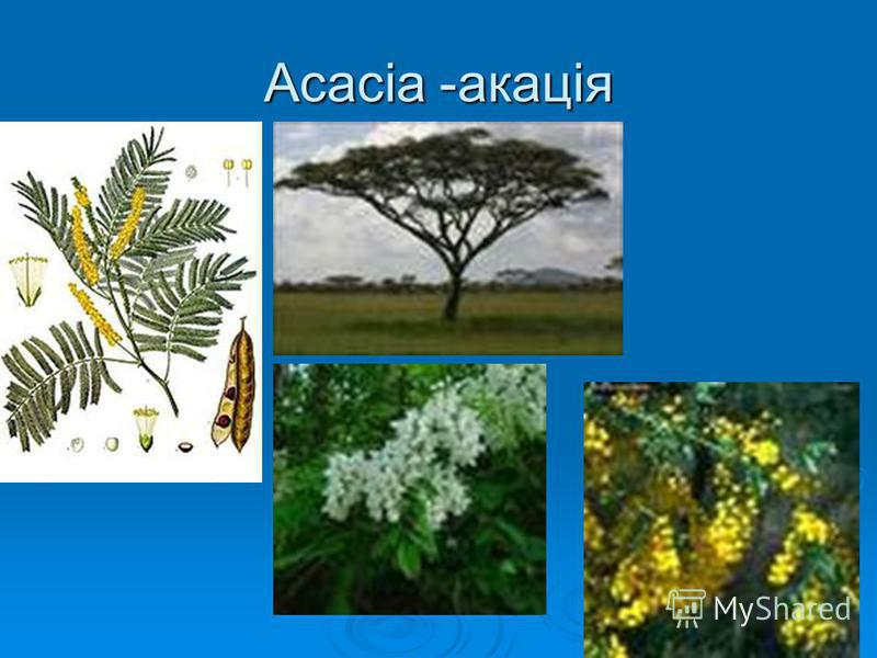 Acacia -акація