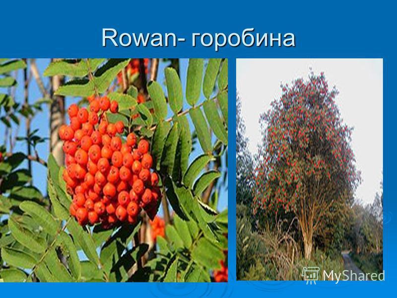 Rowan- горобина